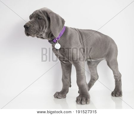 Blue Great Dane purebred puppy standing on a white background