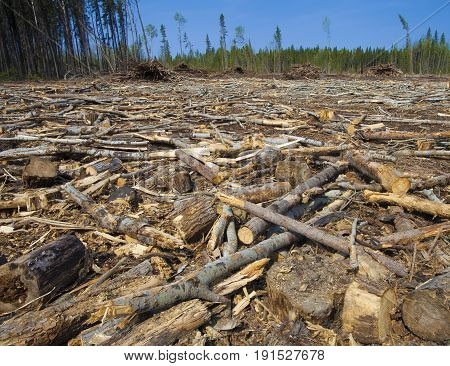 Piles of dead trees in northern Saskatchewan Canada
