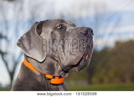 Gray purebred Great Dane profile photo taken outside