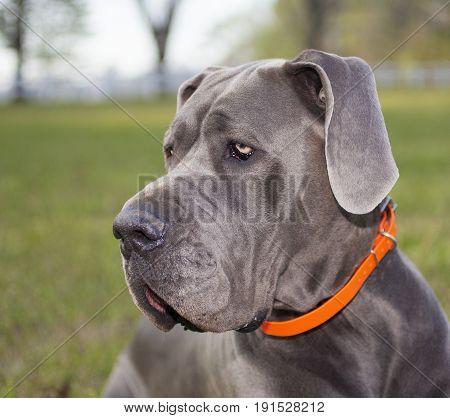 Portrait of a Great Dane purebred on a grassy field