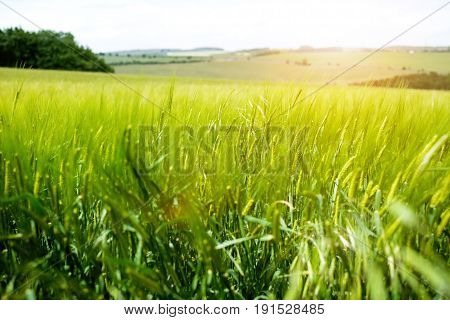Agricultural wheat fields. Summer time in a nature. Sun light. Green fields and windy weather. Rural scene