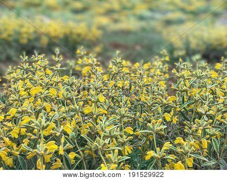 Phlomis armeniaca & fauna flora & endemic plants