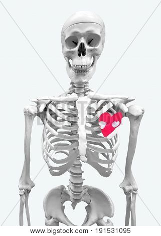 human skeleton with red fabric heart isolated on white