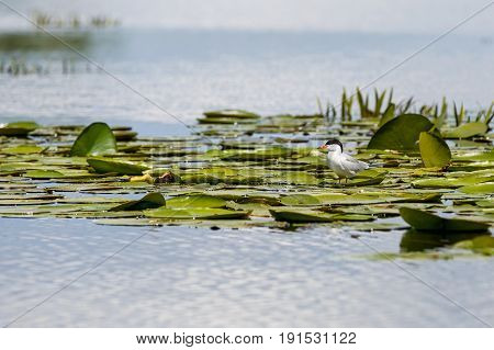 Common tern sitting on the water lilies leaves
