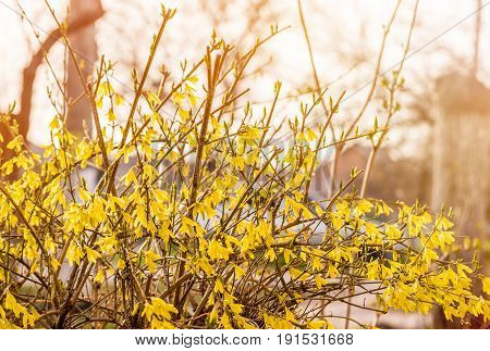 Forsythia flowers in front of with green grass and blue sky. Golden Bell, Border Forsythia (Forsythia x intermedia, europaea) blooming in spring garden bush. Rural.