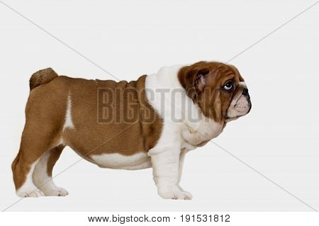 Puppy English Bulldog redhead with white stands sideways and looks upwards on a white background