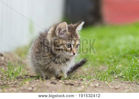 Tortoise kitten playing in a green grass