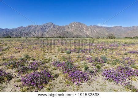 Desert Five-spot Blooming In Spring - Anza-borrego Desert State Park, California