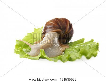 Giant Achatina snail and leaf of lettuce on white background
