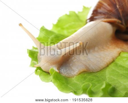 Giant Achatina snail and leaf of lettuce on white background, closeup