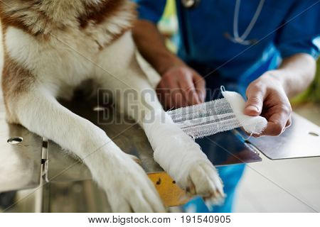 Human wrapping paw of injured dog with gauze bandage