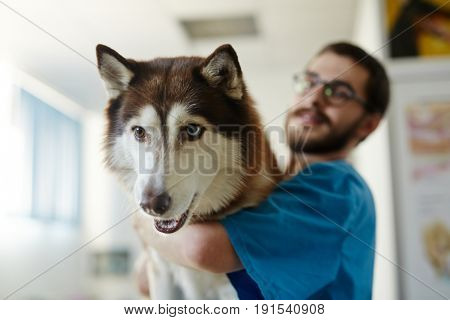 Muzzle of husky dog embraced by vet