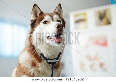 Furry purebred husky with stethoscope