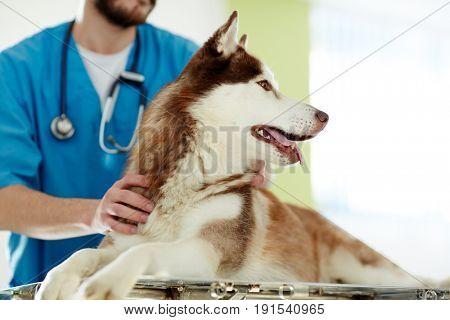 Doctor taking care of siberian husky dog