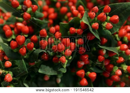 Closeup view of Red Fame Hypericum