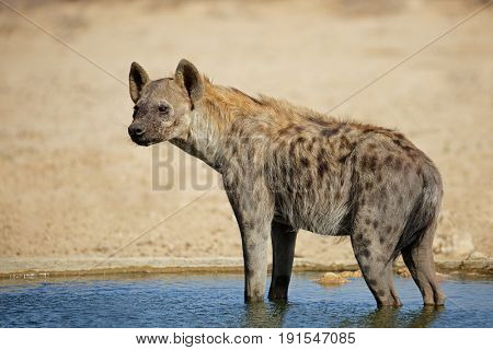 A spotted hyena (Crocuta crocuta) standing in water, Kalahari desert, South Africa