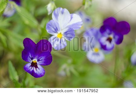 Heartsease Viola tricolor in garden. Close up. Natural background.