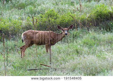 Pregnant mule deer doe in a field of grass.