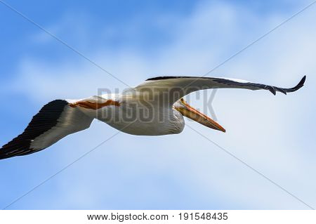 American White Pelican soaring in a blue sky with white clouds.