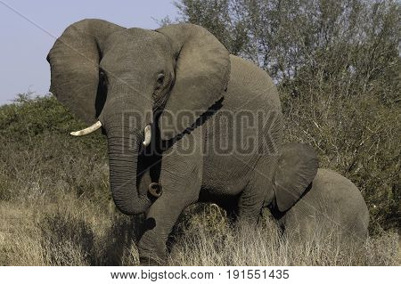 Elephant Cow with baby walking towards the crocodile river to drink water in the Kruger National Park in South Africa.