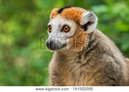 Portrait of an adult male  crowned lemur (Eulemur coronatus) on a green background