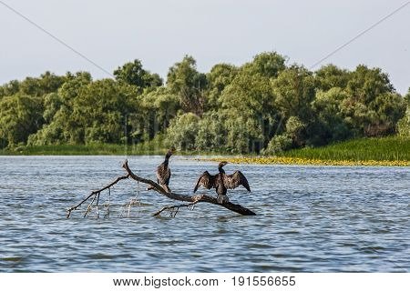 Great cormorants standing on tree branch and drying after fishing