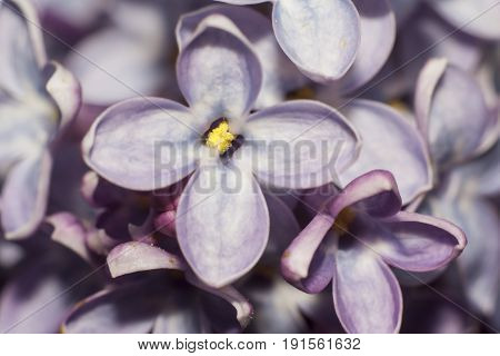 shot of flowers of lilac extreme closeup