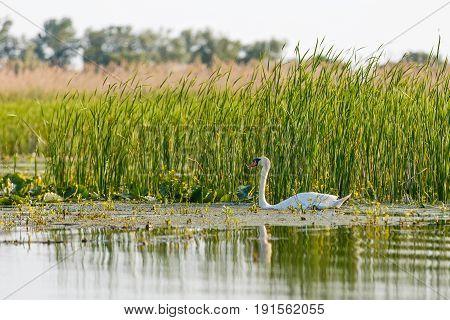 Photo of swimming white swan in Danube Delta