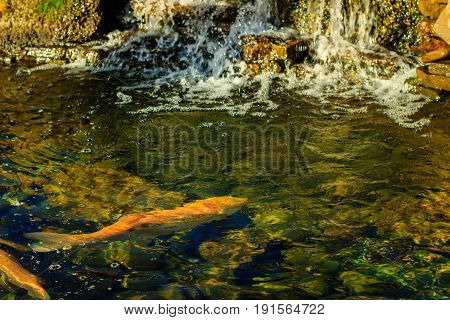 Orange fish in clear and clear water beautiful natural background seen stone bottom and spray from waterfall