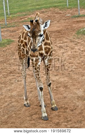 this is a young giraffe in a field