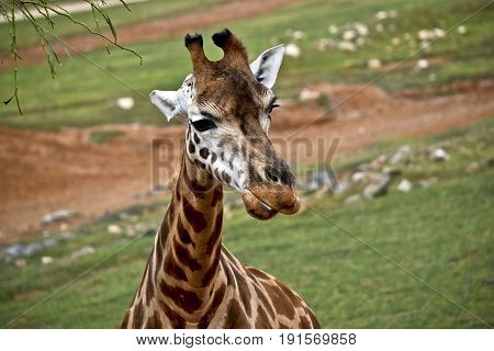this is a close up of a giraffe