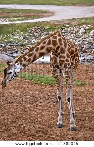 the giraffe is bending his head looking for food