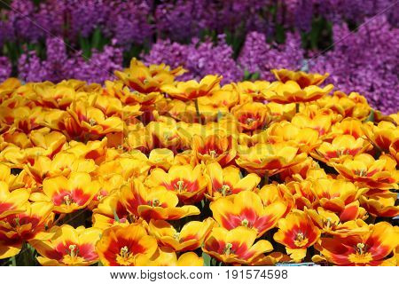 Yellow and red Tulip Kees Nelis in full bloom