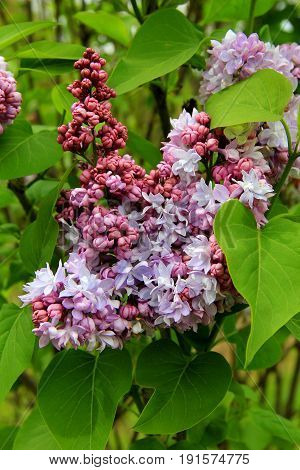 Vertical image of lilacs and lush,green leaves of bush in landscaped garden.