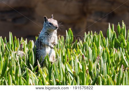 California ground squirrel standing in a bed of ice plant.