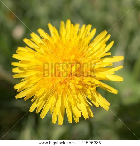 Yellow dandelion in the spring close up