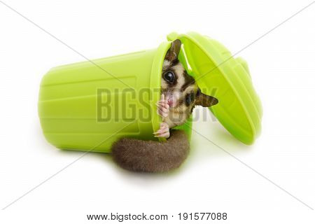 Sugar glider in laying green garbage bin on white background.