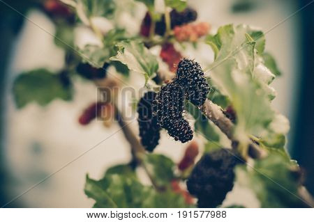 Blurred photo, Blurry image, Fresh mulberry color black ripe and red unripe