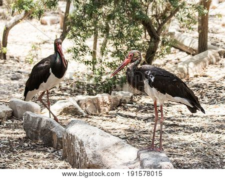 Two Black Storks  - Ciconia Nigra - Stand On A Sunny Day On The Ground In A Forest Plantation