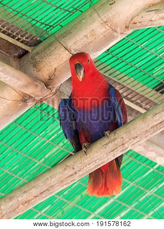 Female of the large green parrot - Eclectus roratus - is sitting on a crossbar near the grid at the Gan Guru Zoo in Kibbutz Nir David in Israel