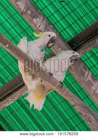 Two white parrots - white cockatoo - Cacatua galerita - sit on a pipe under the ceiling at the Gan Guru Zoo in Kibbutz Nir David in Israel