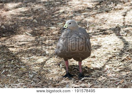 Chicken Goose  - Cape Barren Goose - Cereopsis Novaehollandiae - Stands In A Sunny Day On The Ground