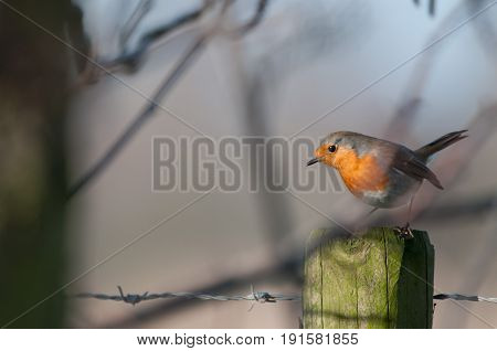 A European Robin, Erithacus rubecula, sitting on a fence in the Flemish Nature Reseve Bourgoyen Ossemeersen, near the city of Ghent, Belgium.