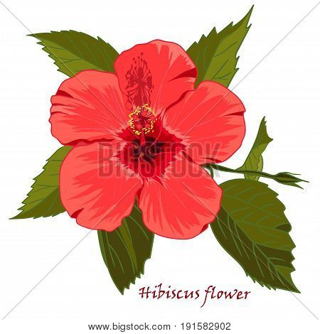 Hibiscus flower in realistic hand-drawn style isolated on white background. Vector illustration