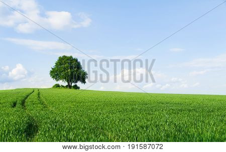 Alone tree in the field of wheat in early summer