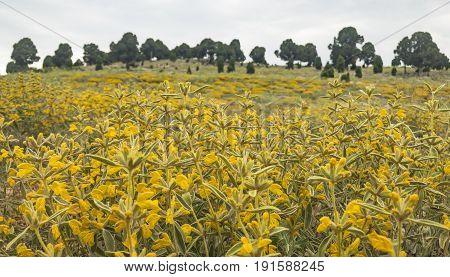 Phlomis armeniaca medicinal plant & endemic rural