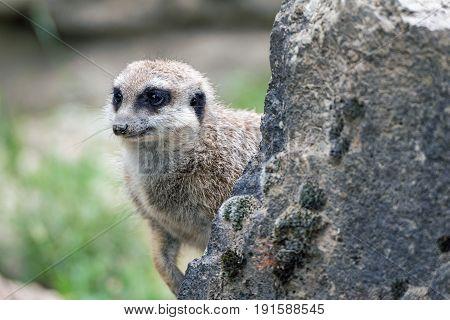 Portrait a cute meerkat in a zoo