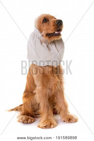 cocker spaniel and snood in front of white background