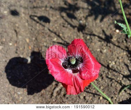 Opium poppy (Papaver somniferum) is a flower plant (angiosperm) belonging to the Papaveraceae family