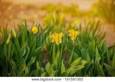 Spring blooming yellow daffodils or narcissuses. Natural floral background. Yellow and white Daffodils, Daffadowndilly, Narcissus field.